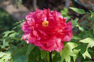 peony-garden201190416_1.jpg