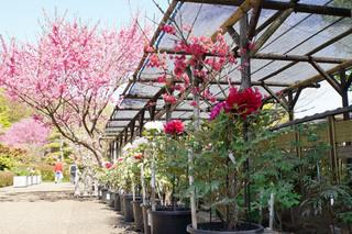 peony-garden201190416_3.jpg