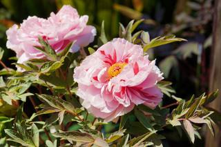 peony-garden201190416_5.jpg