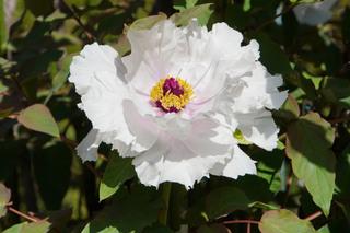 peony-garden201190416_6.jpg