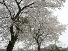 sakura20070401.jpg