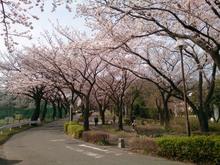 sakura20140401_3.jpg
