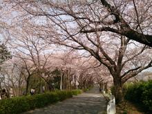 sakura20140401_4.jpg