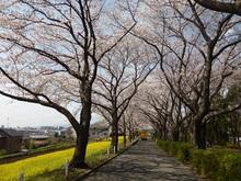 sakura20140402_1.jpg