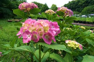yakushiike-flower20190527_3.jpg